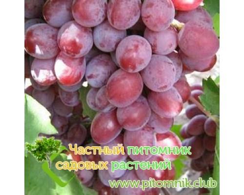 Саженцы винограда сорт Дашуня