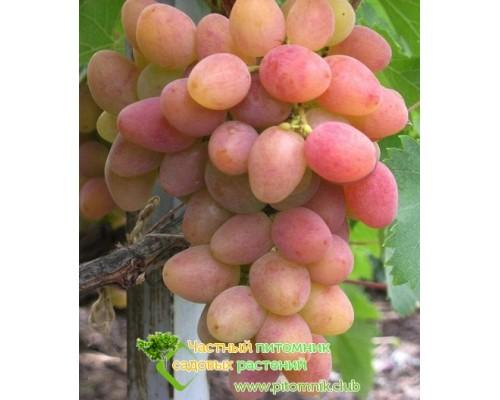 Саженцы винограда сорт Алладин