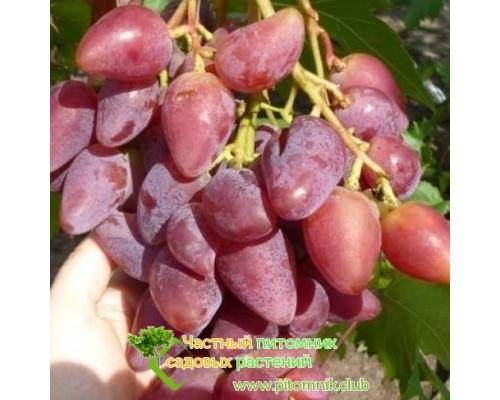 Саженцы винограда сорт Дубовский розовый