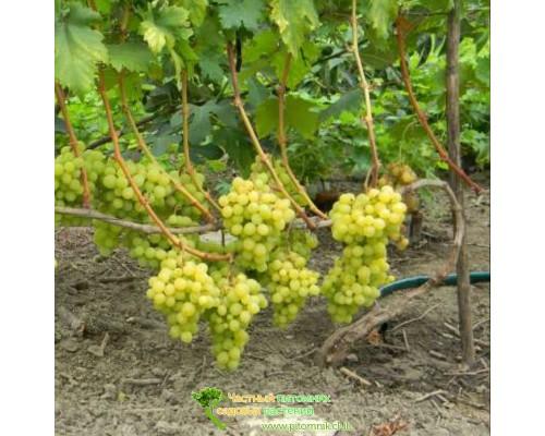 Саженцы винограда сорт Валёк
