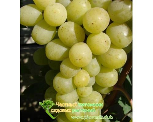 Саженцы винограда сорт Алекса ранняя (Воронюка)