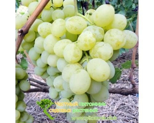 Саженцы винограда сорт Антоний Великий