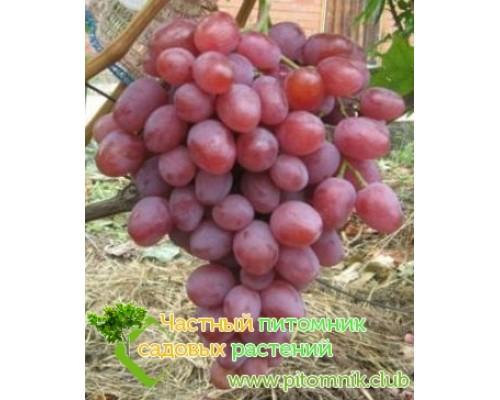 Саженцы винограда сорт Анюта