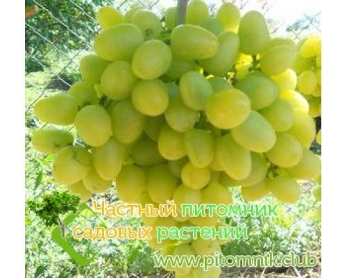 Саженцы винограда сорт Аркадия