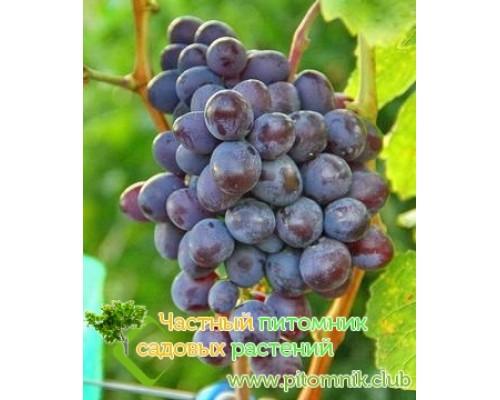 Саженцы винограда сорт Бастра
