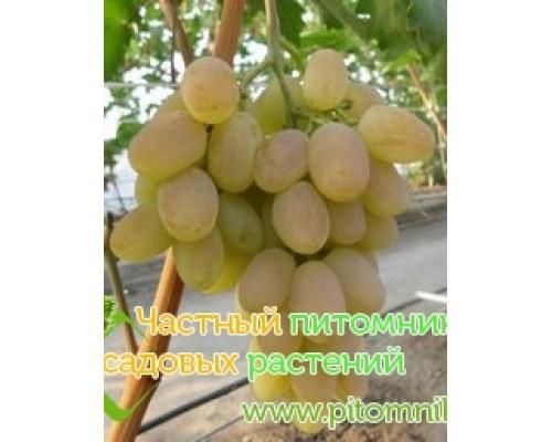 Саженцы винограда сорт Богатяновский