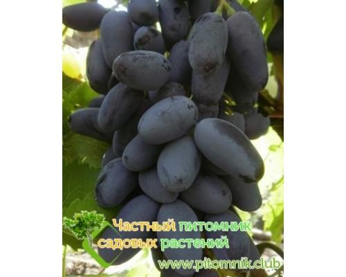 Саженцы винограда сорт Байконур