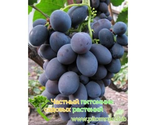 Саженцы винограда сорт Гала