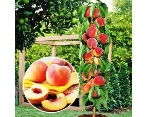 Колоновидный персик ПАНДОРА