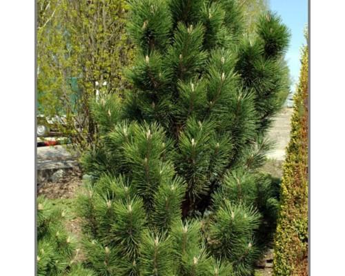 Сосна горная Грин Коламн (40-50 см, ЗКС)