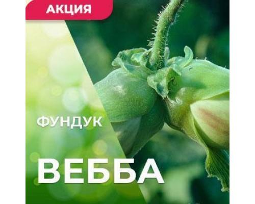 Саженцы фундука Вебба ценный 3-х летний